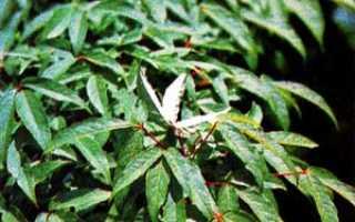 Клен маньчжурский, фото, описание, условия выращивания, уход