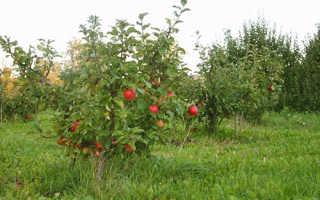Фото сортов карликовых яблонь, особенности формирования кроны видео