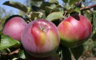 Яблоня Флорина: описание сорта с фото, отзывы