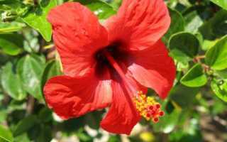 Гибискус китайский: особенности выращивания в комнатных условиях