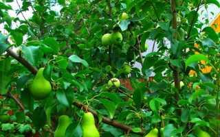 Прививка яблони весной: когда можно и как правильно прививать? фото, пошаговая инструкция