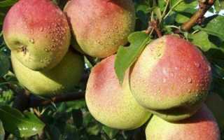 Груша Красуля: описание и характеристика сорта, выращивание, посадка и уход