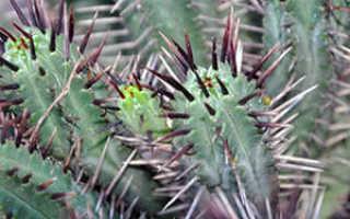 Как ухаживать за кактусами в домашних условиях: полив кактусок, размножение и пересадка; разновидности кактусов