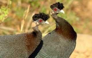 Как отличить самку от самца цесарок: 8 лучших способов определения пола птицы
