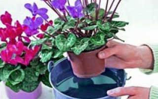 Как правильно поливать цикламен в горшке: во время цветения, в период покоя