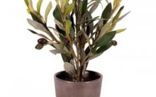 Как вырастить оливковое дерево из косточки в домашних условиях