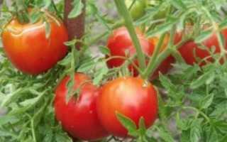Томат (помидор) «Морковный»: описание, характеристика, особенности выращивания