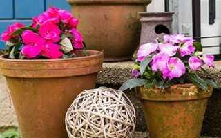 Ванька мокрый: уход в домашних условиях за комнатным цветком бальзамином летом и зимой