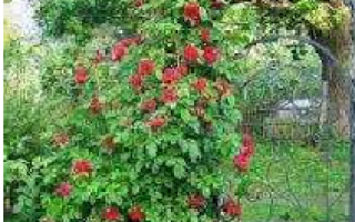 Плетистая роза — подготовка к зиме, обрезка, укрытие, видео