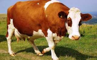 4 способа, как определить стельность коровы