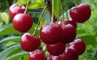 Вишня гибридная «Чудо-вишня»: описание сорта, опылители, зимостойкость, фото