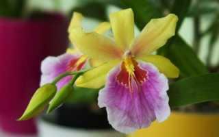 Орхидея мильтония: описание, главные отличия от других видов, фото сортов этого растения и советы по уходу за цветком в домашних условиях