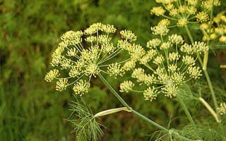 Фото болезней укропа, способы борьбы с желтыми, красными, черными растениями видео