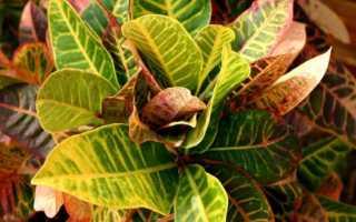 Почему кротон сбрасывает листья: причины и борьба с ними