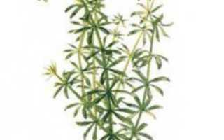 Подмаренник мягкий и другие виды растения: описание и применение в народной медицине