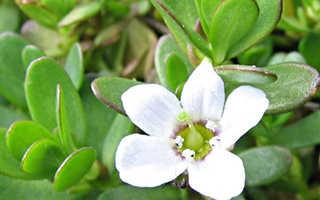 Трава брахми: полезные свойства, как принимать для здоровья