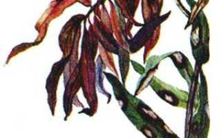 Как защитить лилии от болезней и вредителей, способы