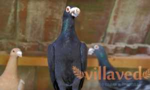 Венгерские голуби: фото, описание, характеристика