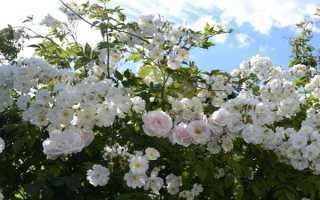 Уход и посадка плетистой розы: обрезка, размножение, подготовка к зиме