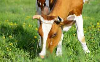 Что делать, если корова отравилась? Лечение при отравлении