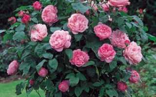 Роза «Мэри Роуз»: описание, фото, характеристика, выращивание