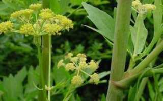 Особенности выращивания любистка: посадка и уход за растением