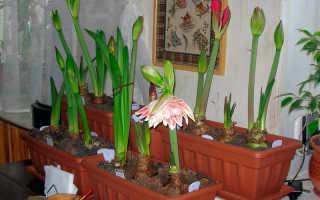 Гиппеаструм не цветет: причины и устранение, как заставить цвести