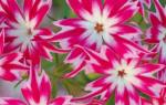 Однолетние цветы для дачи на все лето: какие выбрать