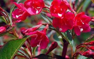 Выращивание вейгелы в саду: посадка вейгелы и уход, полив и подкормка вейгелы