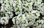 Алиссум, бурачок, лобулярия – цветочные коврики с медовым ароматом
