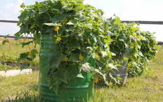 Выращиваем по-новому: огурцы в бочке