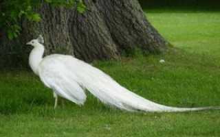 Белый павлин птица