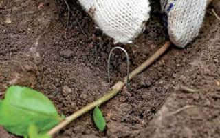 Размножение калины отводком — рекомендации по прикапыванию отводка, видео