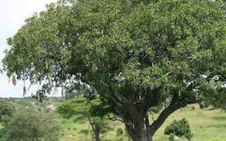 Колбасное дерево: фото и описание