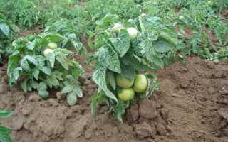 Сорта томатов для открытого грунта: низкорослые виды и их преимущества — Огород, Описание, советы, отзывы, фото и видео