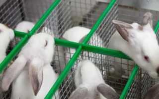 Кролики породы Хиколь и Хиплус: характеристики и разведение