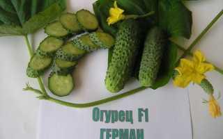 Огурцы Герман f1: описание и характеристика сорта, выращивание в открытом грунте