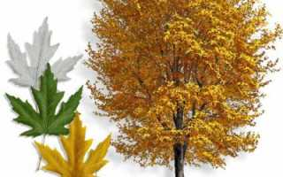 Клен серебристый: высота и ствол дерева