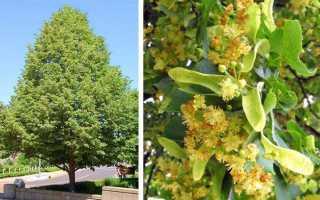 Липовые деревья- Разновидности и особенные черты Фото и Видео