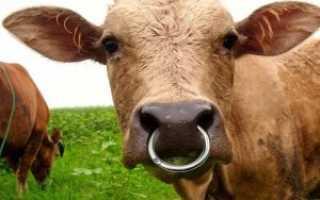 Зачем быку вставляют кольцо в нос
