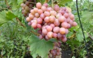 Виноград Ливия: описание сорта, выращивание и уход, отзывы