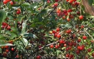 Сорт вишни Маяк: фото, отзывы, описание, характеристики