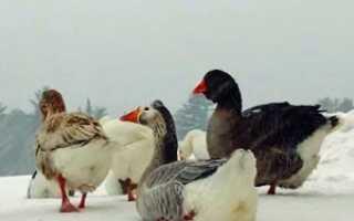 Содержание гусей зимой в домашних условиях: чем лучше кормить, какую температуру выдерживают