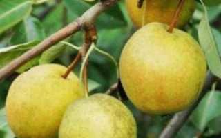 Груша — Рогнеда: характеристика сорта и агротехника выращивания