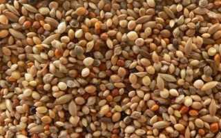 Что такое чумиза? Выращивание из семян