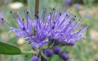 Кариоптерис: ботаническая справка, выращивание и уход