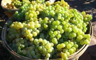 Сроки сбора винограда: время сбора урожая винограда
