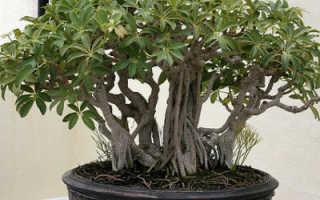 Шеффлера: виды растения, фото, подробное описание каждого сорта