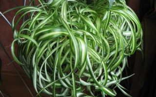 Хлорофитум комнатный, виды растения, уход в домашних условиях и размножение хлорофитума