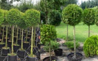 Особенности выращивания туи Брабант: посадка, уход, использование в ландшафтном дизайне